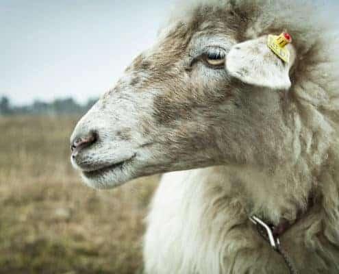 Stefan Knittel - Erich und die Schafe 4